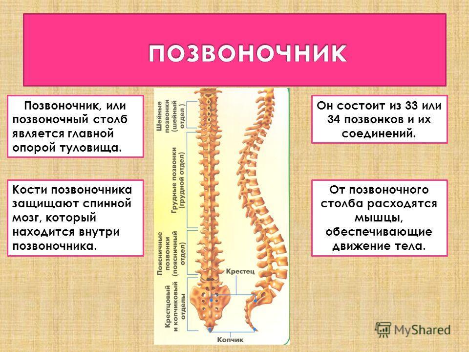 Позвоночник, или позвоночный столб является главной опорой туловища. Он состоит из 33 или 34 позвонков и их соединений. Кости позвоночника защищают спинной мозг, который находится внутри позвоночника. От позвоночного столба расходятся мышцы, обеспечи