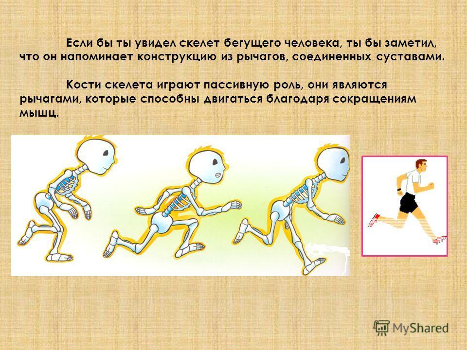Если бы ты увидел скелет бегущего человека, ты бы заметил, что он напоминает конструкцию из рычагов, соединенных суставами. Кости скелета играют пассивную роль, они являются рычагами, которые способны двигаться благодаря сокращениям мышц.