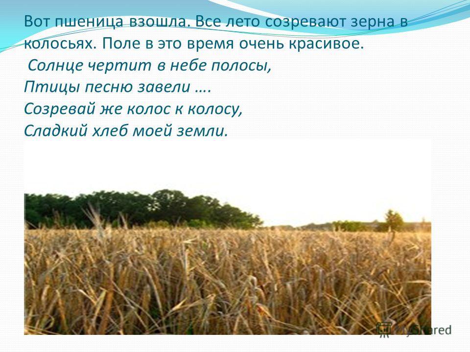 Вот пшеница взошла. Все лето созревают зерна в колосьях. Поле в это время очень красивое. Солнце чертит в небе полосы, Птицы песню завели …. Созревай же колос к колосу, Сладкий хлеб моей земли.