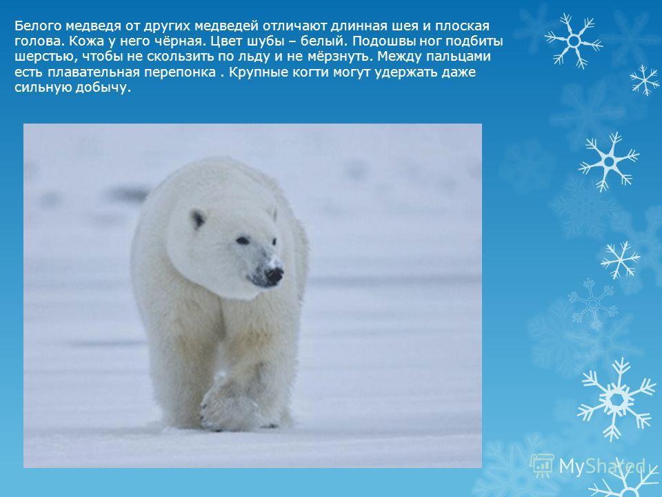 Белого медведя от других медведей отличают длинная шея и плоская голова. Кожа у него чёрная. Цвет шубы – белый. Подошвы ног подбиты шерстью, чтобы не скользить по льду и не мёрзнуть. Между пальцами есть плавательная перепонка. Крупные когти могут уде