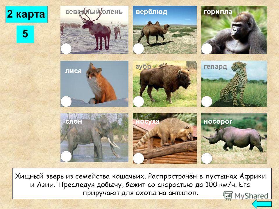 4 северный оленьверблюд лиса слон горилла зубргепард носорогносуха Самое крупное сухопутное животное. Обитает в Африке, Индии и на Малайском архипелаге. Хорошо приручается человеком и используется для перевозки тяжестей. Его бивни ценятся как материа