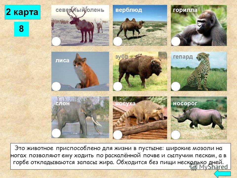 7 северный оленьверблюд лиса слон горилла зубргепард носорогносуха В Южной Америке и на юге Северной Америки живёт это своеобразное животное с тонким длинным носом и плавательной перепонкой на пальцах. Питается насекомыми, доставая их носом из разрыт