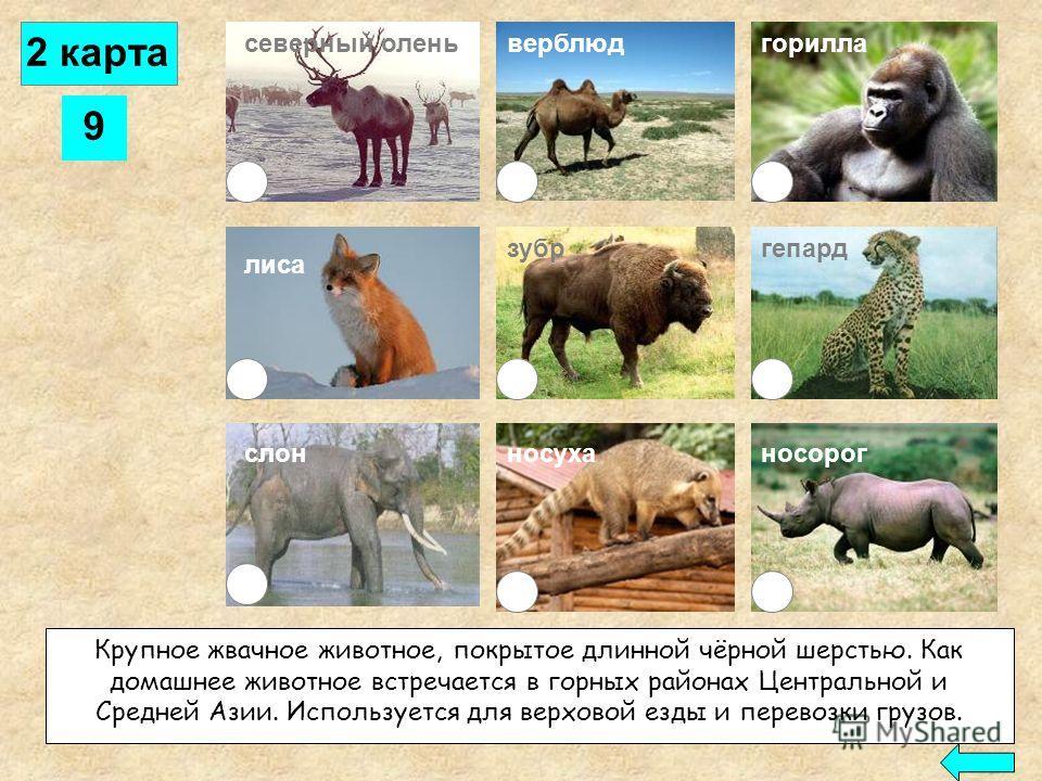 8 северный оленьверблюд лиса слон горилла зубргепард носорогносуха Это животное приспособлено для жизни в пустыне: широкие мозоли на ногах позволяют ему ходить по раскалённой почве и сыпучим пескам, а в горбе откладываются запасы жира. Обходится без