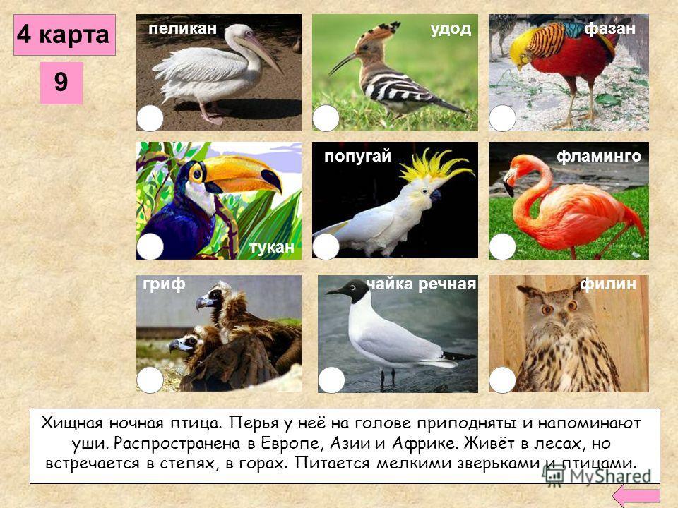 8 пеликанудод гриф фазан попугайфламинго филинчайка речная 4 карта Крупная хищная птица. Распространена в Европе, Азии, Африке. Обитает, в основном, в горах, на высоте до 4500 метров, гнёзда строит на деревьях или скалах. Питается падалью. тукан