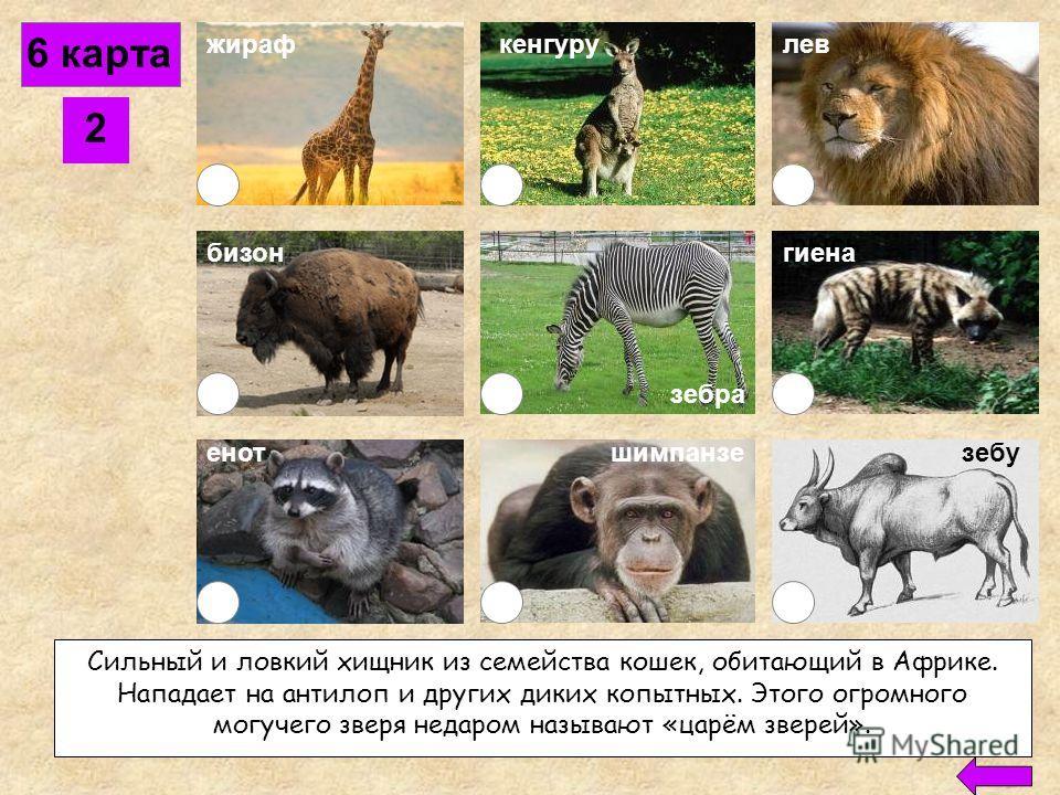 6 карта 1 жираф бизон кенгурулев енотшимпанзе рысь зебу гиена Дикий степной бык, обитает в различных странах Азии и Африки. В Индии его считают священным животным. У него на спине имеется жировой горб. зебра
