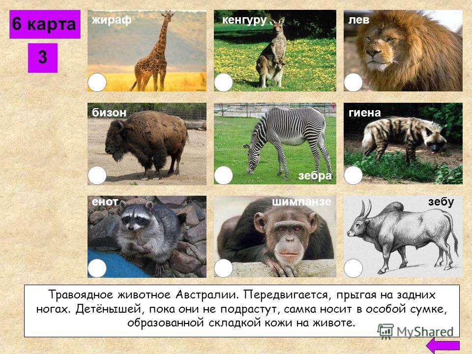 6 карта 2 жираф бизон кенгурулев енотшимпанзе рысь зебу гиена Сильный и ловкий хищник из семейства кошек, обитающий в Африке. Нападает на антилоп и других диких копытных. Этого огромного могучего зверя недаром называют «царём зверей». зебра