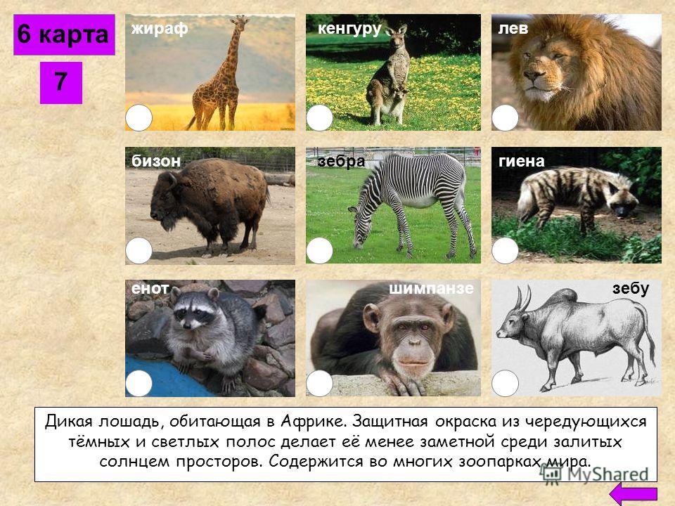 6 карта 6 жираф бизон кенгурулев енотшимпанзе рысь зебу гиена Человекообразная обезьяна, обитающая в лесах Африки. Ведёт стадный образ жизни. Строит на деревьях гнёзда, в которых проводит ночь. Поедает плоды, листья и побеги растений, а также насеком