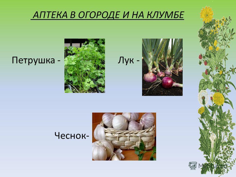 АПТЕКА В ОГОРОДЕ И НА КЛУМБЕ Петрушка - Лук - Чеснок-