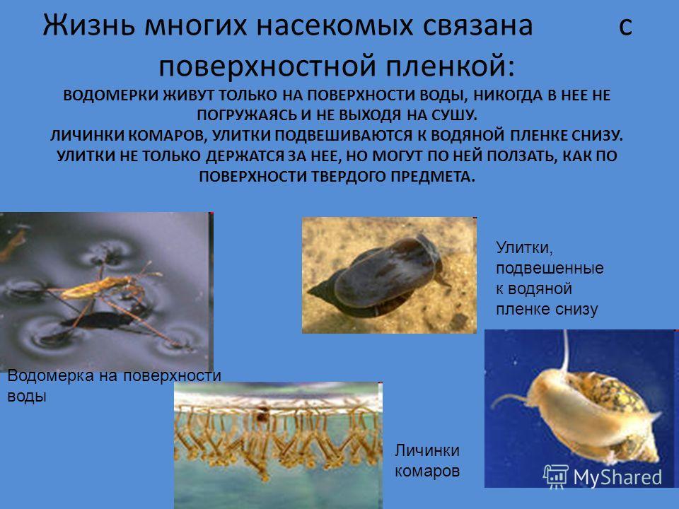 Жизнь многих насекомых связана с поверхностной пленкой: ВОДОМЕРКИ ЖИВУТ ТОЛЬКО НА ПОВЕРХНОСТИ ВОДЫ, НИКОГДА В НЕЕ НЕ ПОГРУЖАЯСЬ И НЕ ВЫХОДЯ НА СУШУ. ЛИЧИНКИ КОМАРОВ, УЛИТКИ ПОДВЕШИВАЮТСЯ К ВОДЯНОЙ ПЛЕНКЕ СНИЗУ. УЛИТКИ НЕ ТОЛЬКО ДЕРЖАТСЯ ЗА НЕЕ, НО МО