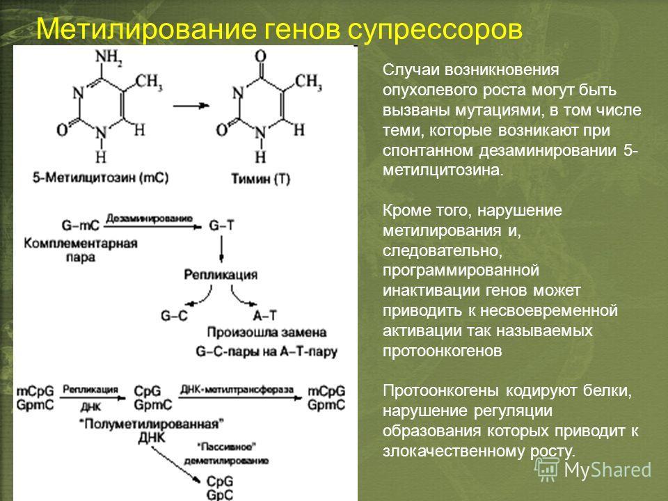 Метилирование генов супрессоров Случаи возникновения опухолевого роста могут быть вызваны мутациями, в том числе теми, которые возникают при спонтанном дезаминировании 5- метилцитозина. Кроме того, нарушение метилирования и, следовательно, программир