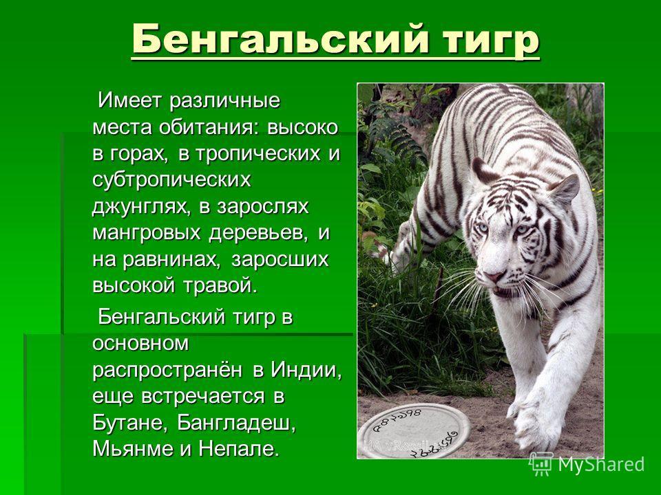 Бенгальский тигр Бенгальский тигр Имеет различные места обитания: высоко в горах, в тропических и субтропических джунглях, в зарослях мангровых деревьев, и на равнинах, заросших высокой травой. Имеет различные места обитания: высоко в горах, в тропич