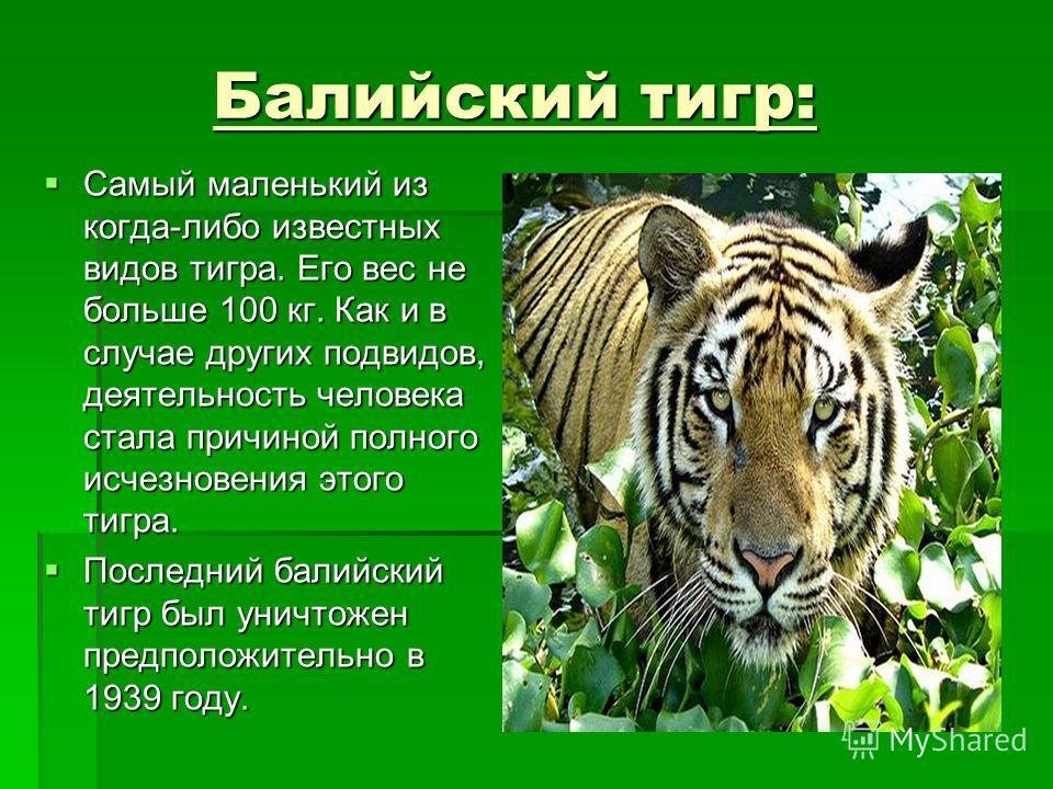 Балийский тигр: Балийский тигр: Самый маленький из когда-либо известных видов тигра. Его вес не больше 100 кг. Как и в случае других подвидов, деятельность человека стала причиной полного исчезновения этого тигра. Самый маленький из когда-либо извест