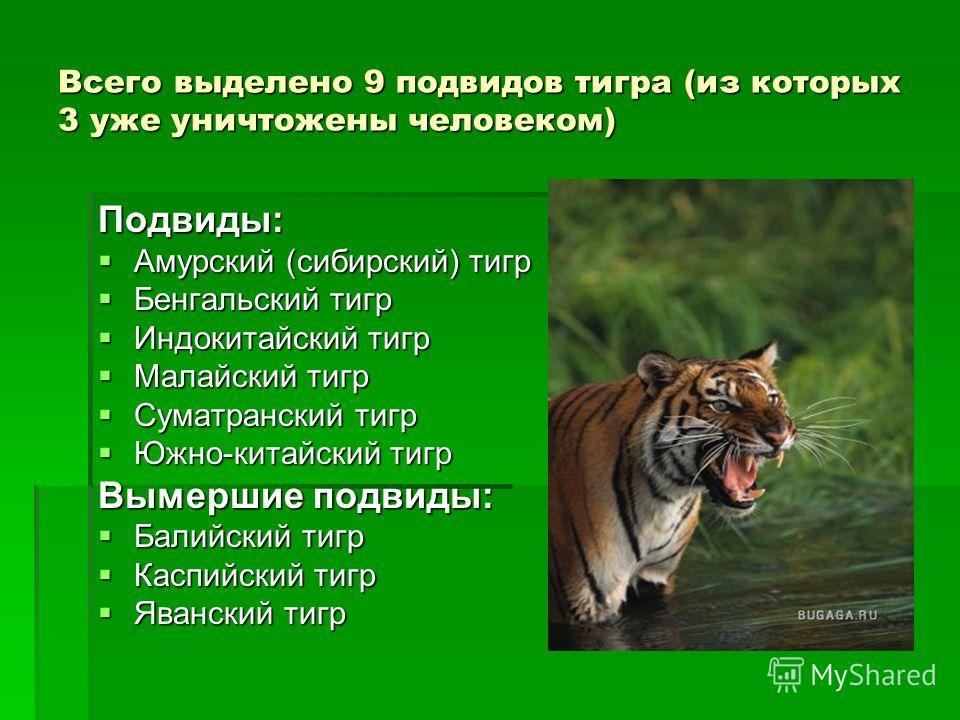 Всего выделено 9 подвидов тигра (из которых 3 уже уничтожены человеком) Подвиды: Амурский (сибирский) тигр Амурский (сибирский) тигр Бенгальский тигр Бенгальский тигр Индокитайский тигр Индокитайский тигр Малайский тигр Малайский тигр Суматранский ти