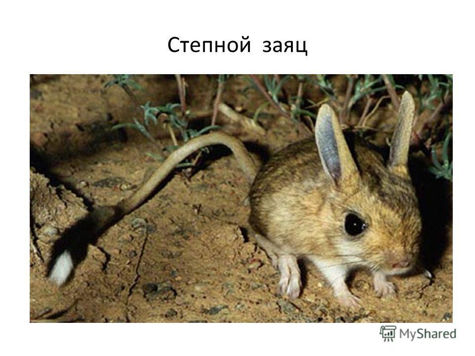 Степной заяц