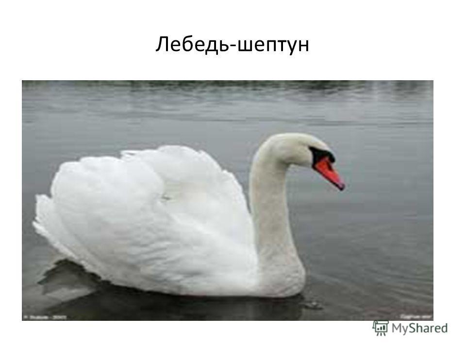 Лебедь-шептун