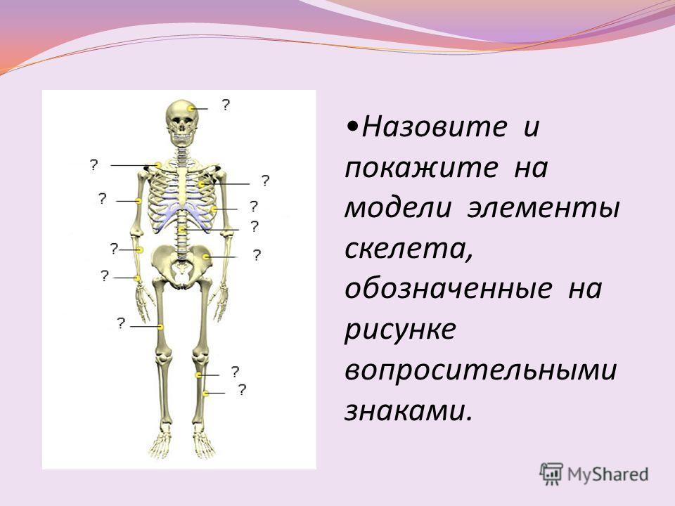 Назовите и покажите на модели элементы скелета, обозначенные на рисунке вопросительными знаками.