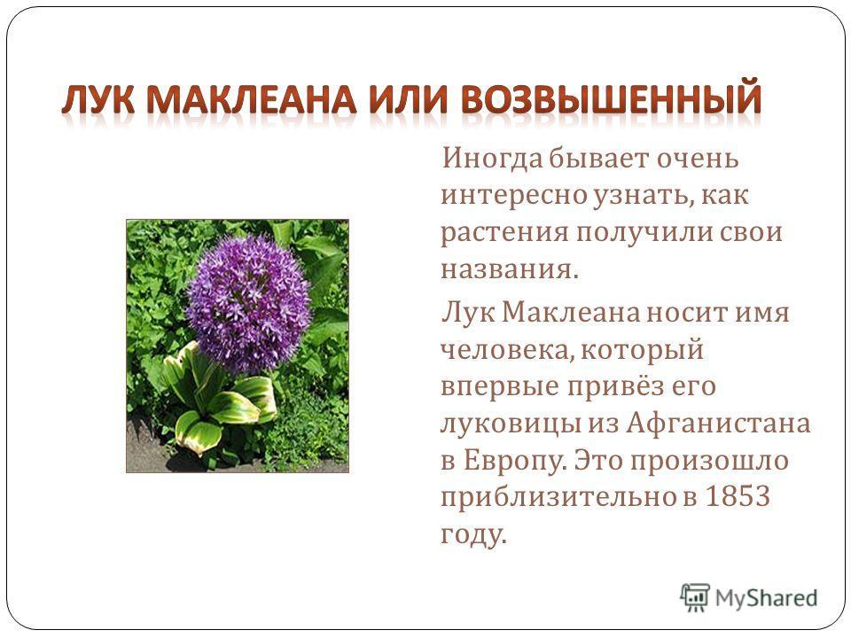 Иногда бывает очень интересно узнать, как растения получили свои названия. Лук Маклеана носит имя человека, который впервые привёз его луковицы из Афганистана в Европу. Это произошло приблизительно в 1853 году.