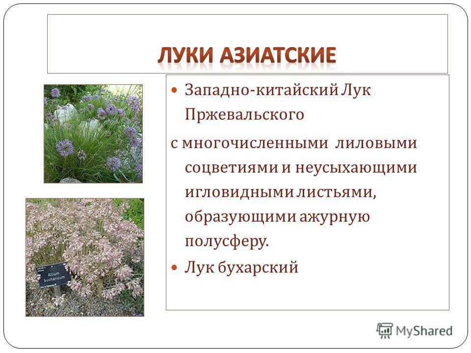 Западно - китайский Лук Пржевальского с многочисленными лиловыми соцветиями и неусыхающими игловидными листьями, образующими ажурную полусферу. Лук бухарский