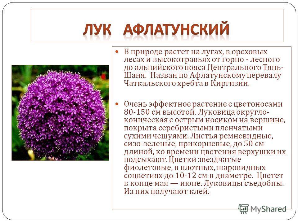 В природе растет на лугах, в ореховых лесах и высокотравьях от горно - лесного до альпийского пояса Центрального Тянь - Шаня. Назван по Афлатунскому перевалу Чаткальского хребта в Киргизии. Очень эффектное растение с цветоносами 80-150 см высотой. Лу