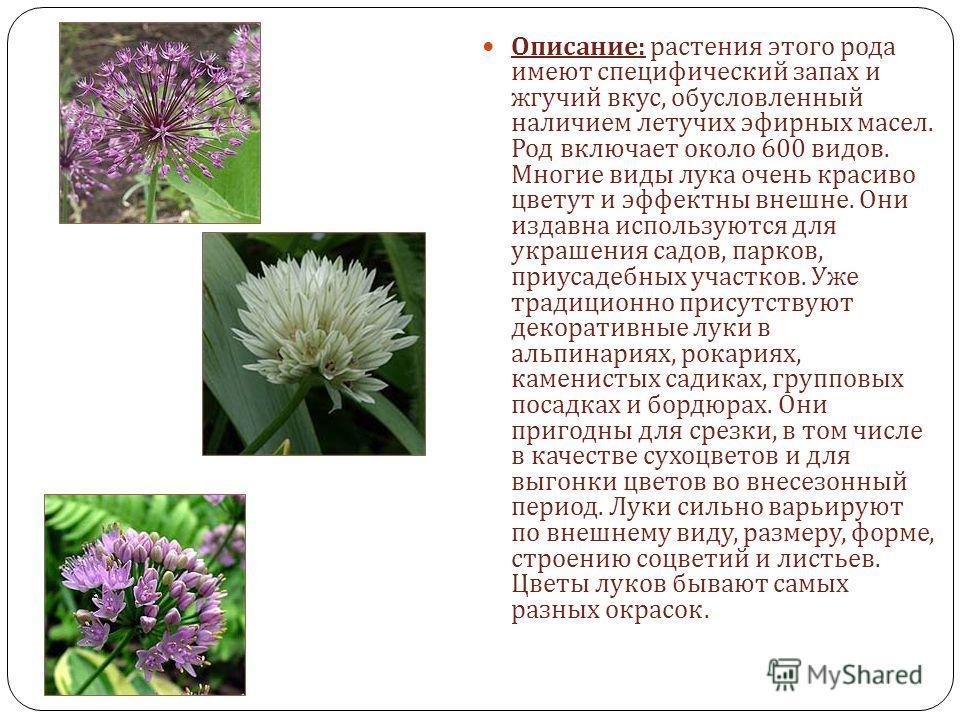 Описание : растения этого рода имеют специфический запах и жгучий вкус, обусловленный наличием летучих эфирных масел. Род включает около 600 видов. Многие виды лука очень красиво цветут и эффектны внешне. Они издавна используются для украшения садов,