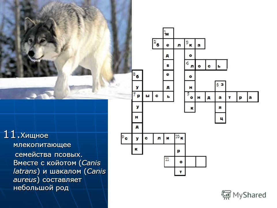11. Хищное млекопитающее 11. Хищное млекопитающее семейства псовых. Вместе с койотом (Canis latrans) и шакалом (Canis aureus) составляет небольшой род семейства псовых. Вместе с койотом (Canis latrans) и шакалом (Canis aureus) составляет небольшой ро