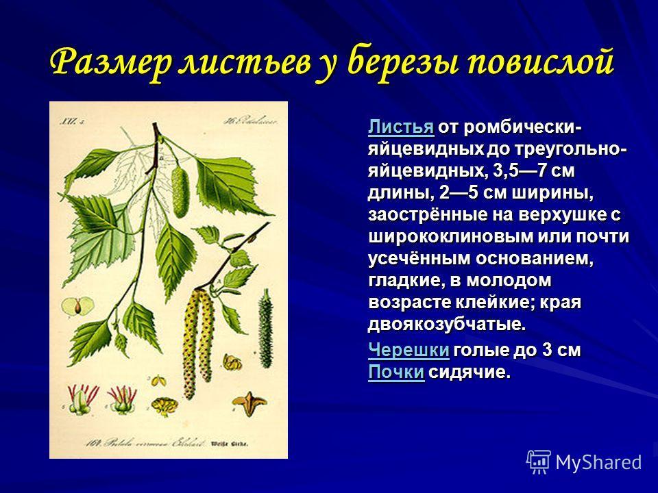 Размер листьев у березы повислой ЛистьяЛистья от ромбически- яйцевидных до треугольно- яйцевидных, 3,57 см длины, 25 см ширины, заострённые на верхушке с ширококлиновым или почти усечённым основанием, гладкие, в молодом возрасте клейкие; края двоякоз