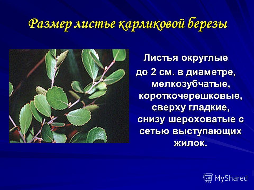 Размер листье карликовой березы Листья округлые до 2 см. в диаметре, мелкозубчатые, короткочерешковые, сверху гладкие, снизу шероховатые с сетью выступающих жилок.