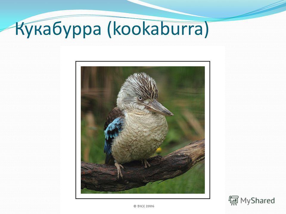 Кукабурра (kookaburra)