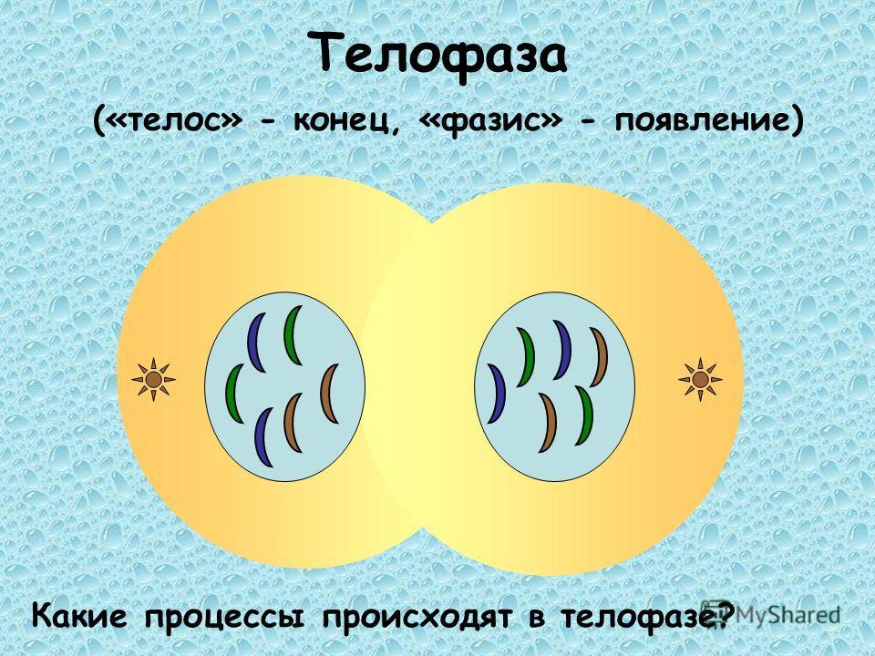 Телофаза («телос» - конец, «фазис» - появление) Какие процессы происходят в телофазе?