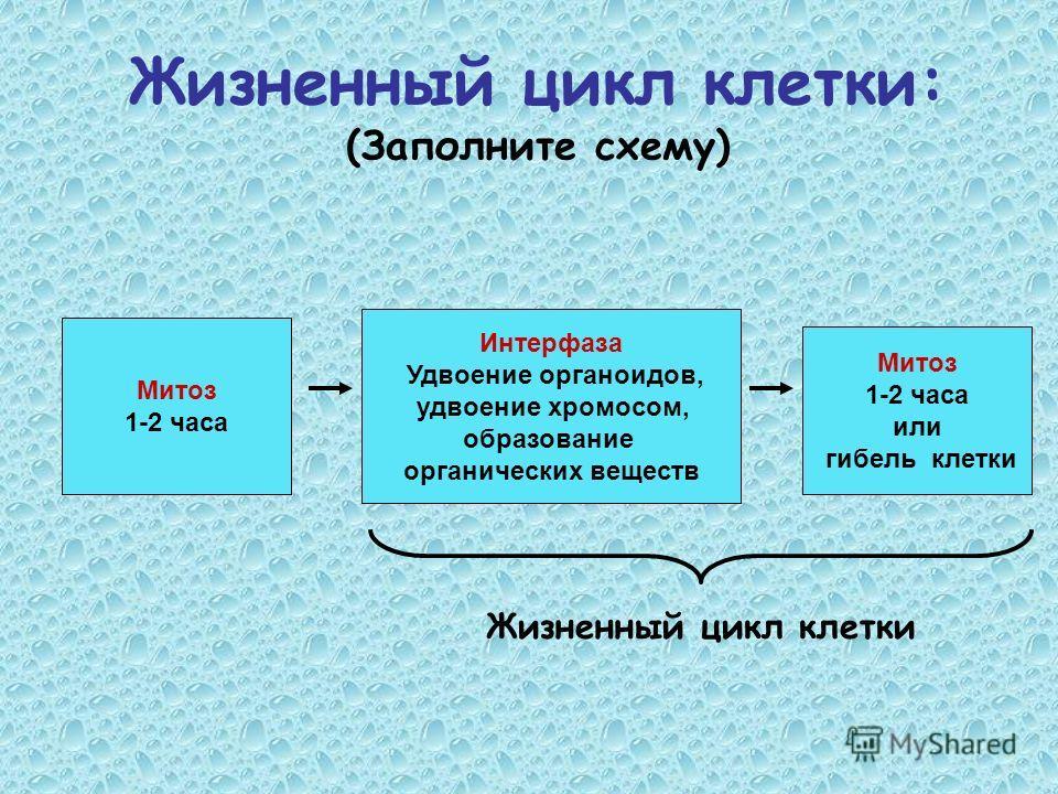 Жизненный цикл клетки: (Заполните схему) Митоз 1-2 часа Митоз 1-2 часа или гибель клетки Интерфаза Удвоение органоидов, удвоение хромосом, образование органических веществ Жизненный цикл клетки