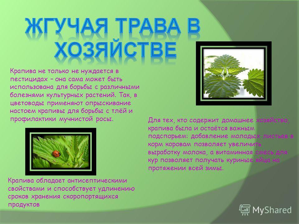 Крапива не только не нуждается в пестицидах – она сама может быть использована для борьбы с различными болезнями культурных растений. Так, в цветоводы применяют опрыскивание настоем крапивы для борьбы с тлёй и профилактики мучнистой росы. Для тех, кт