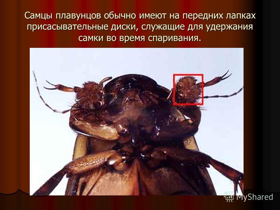 Самцы плавунцов обычно имеют на передних лапках присасывательные диски, служащие для удержания самки во время спаривания.