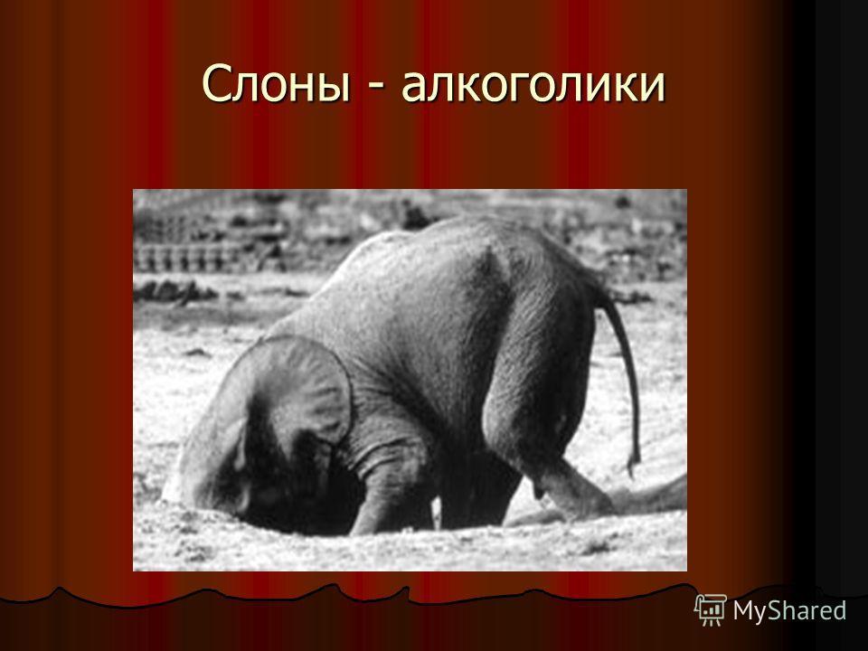 Слоны - алкоголики