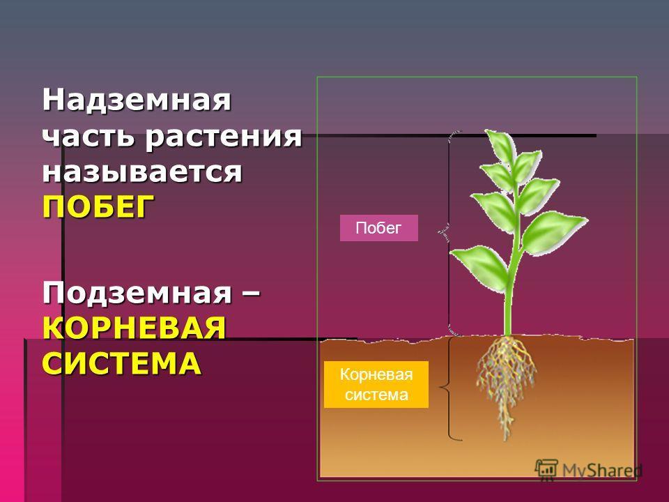 ОРГАНЫ ЦВЕТКОВЫХ РАСТЕНИЙ 6к л а с с Учебник Н.И. Сонина