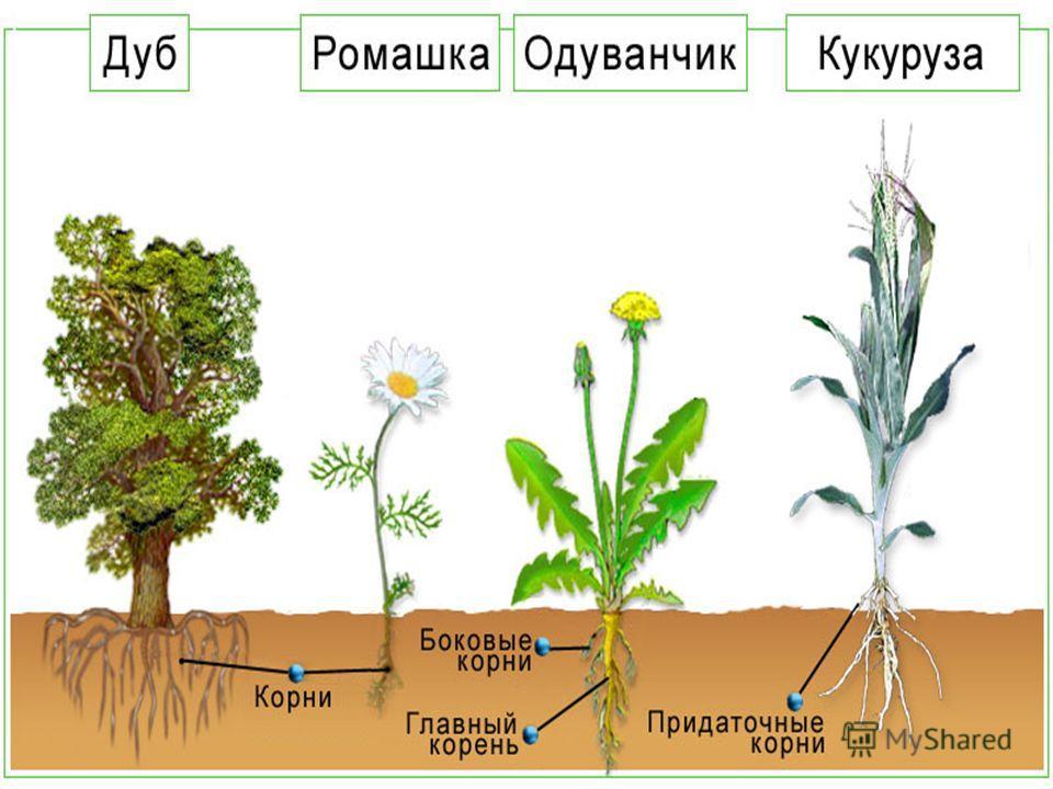 К О Р Е Н Ь Закрепляет растение в почве Закрепляет растение в почве Всасывает воду и Всасывает воду и растворенные в растворенные в ней минеральные вещества ней минеральные вещества Здесь могут откладываться и Здесь могут откладываться и накапливатьс