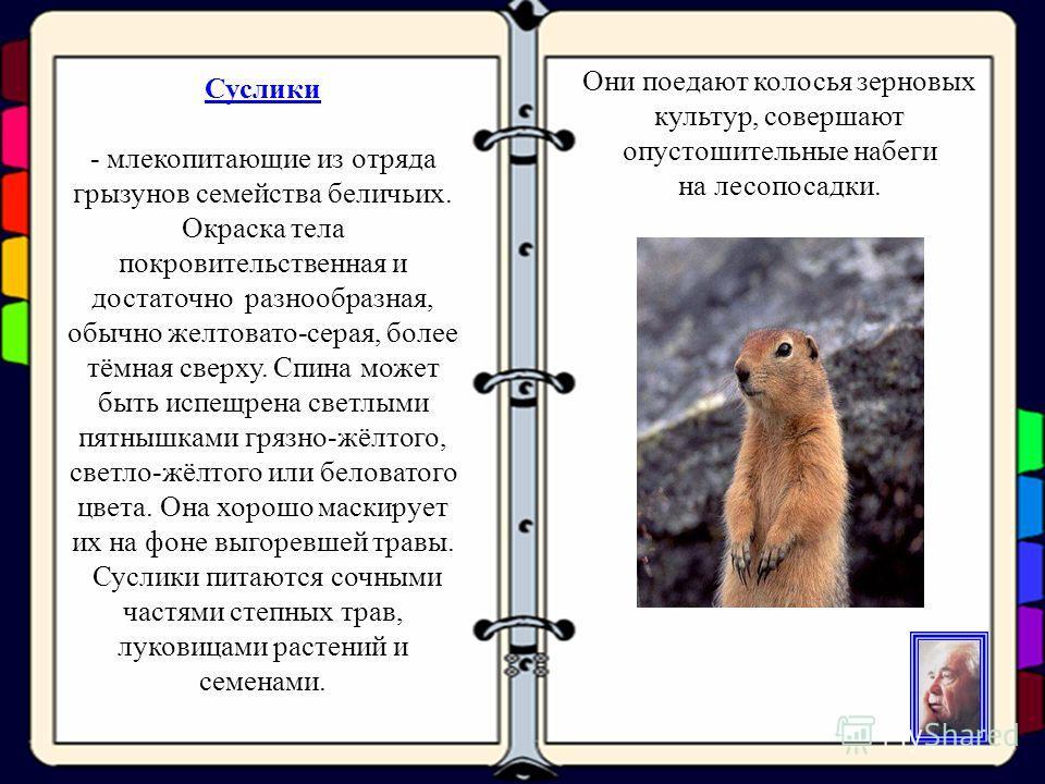 Суслики Суслики - млекопитающие из отряда грызунов семейства беличьих. Окраска тела покровительственная и достаточно разнообразная, обычно желтовато-серая, более тёмная сверху. Спина может быть испещрена светлыми пятнышками грязно-жёлтого, светло-жёл