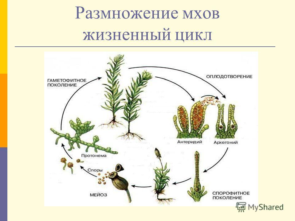 Размножение мхов жизненный цикл