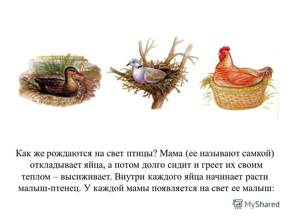 Как же рождаются на свет птицы? Мама (ее называют самкой) откладывает яйца, а потом долго сидит и греет их своим теплом – высиживает. Внутри каждого яйца начинает расти малыш-птенец. У каждой мамы появляется на свет ее малыш: Как же рождаются на свет