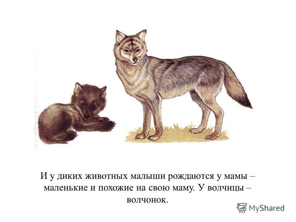 И у диких животных малыши рождаются у мамы – маленькие и похожие на свою маму. У волчицы – волчонок. И у диких животных малыши рождаются у мамы – маленькие и похожие на свою маму. У волчицы – волчонок.