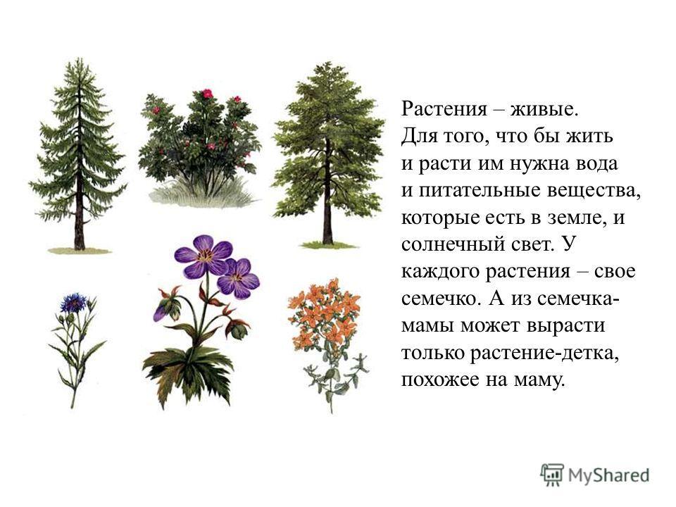 Растения – живые. Для того, что бы жить и расти им нужна вода и питательные вещества, которые есть в земле, и солнечный свет. У каждого растения – свое семечко. А из семечка- мамы может вырасти только растение-детка, похожее на маму. Растения – живые