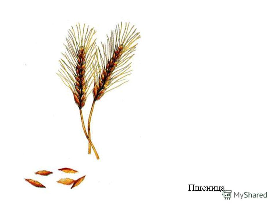 Пшеница Пшеница.
