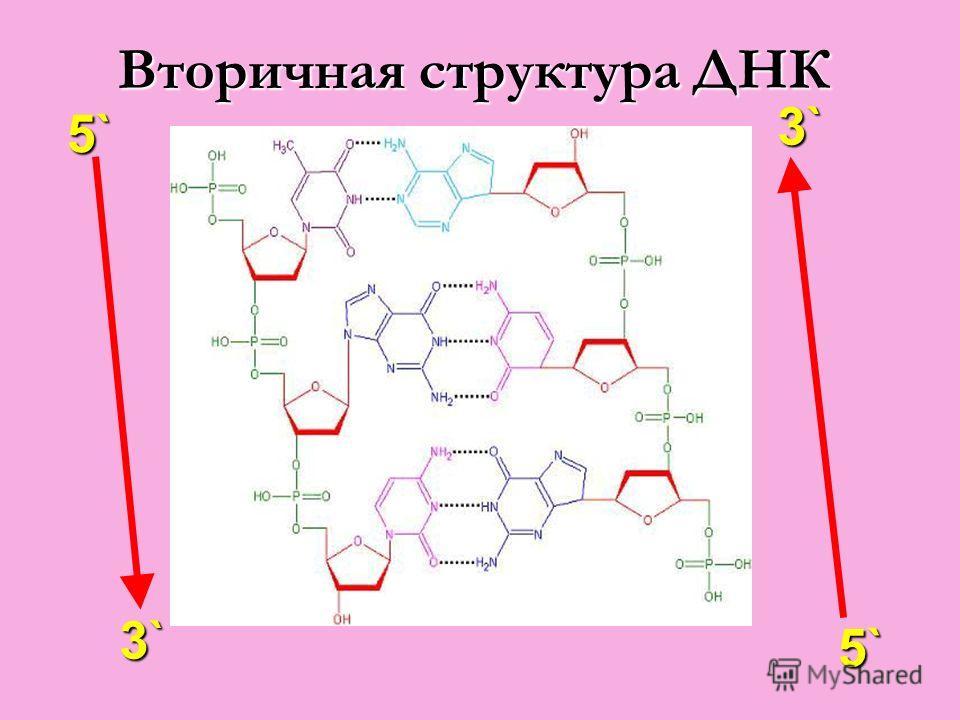Вторичная структура ДНК 5` 3`3`3`3` 3`3`3`3` 5`