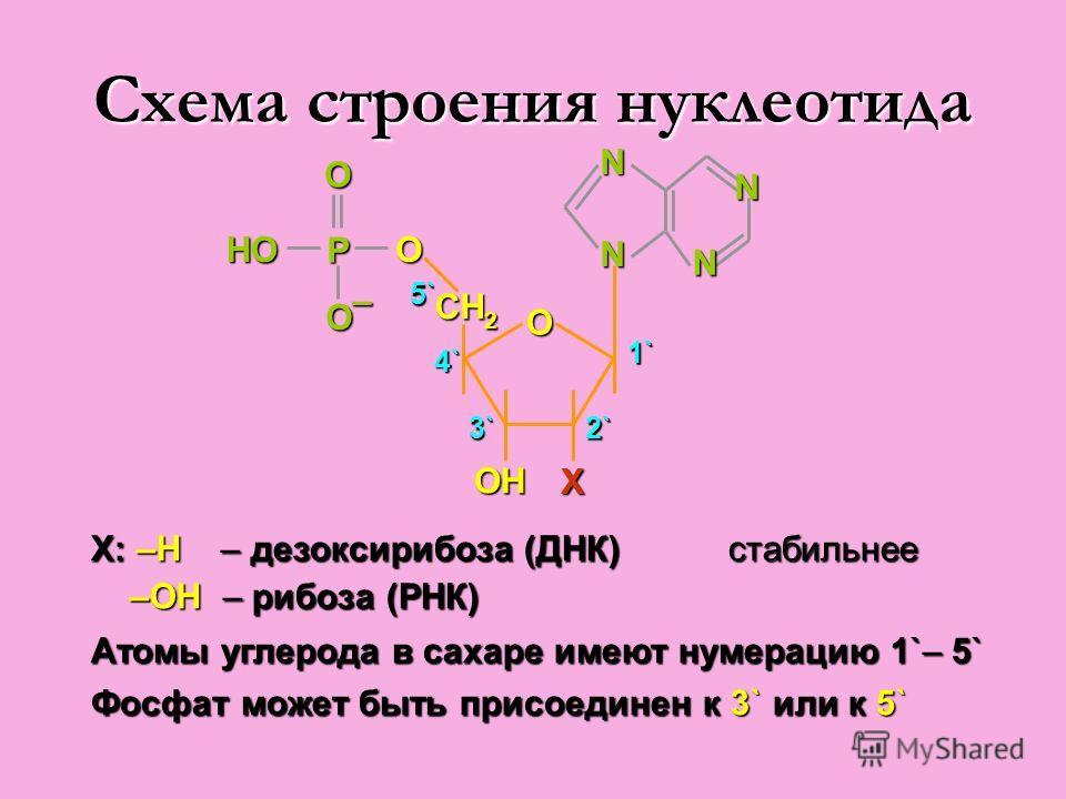 Схема строения нуклеотида ОН Х О CH 2 NN О P О О – HОHОHОHО N N 3` 4` 5` 2` 1` X: –H – дезоксирибоза (ДНК) стабильнее –OH – рибоза (РНК) –OH – рибоза (РНК) Атомы углерода в сахаре имеют нумерацию 1`– 5` Фосфат может быть присоединен к 3` или к 5`
