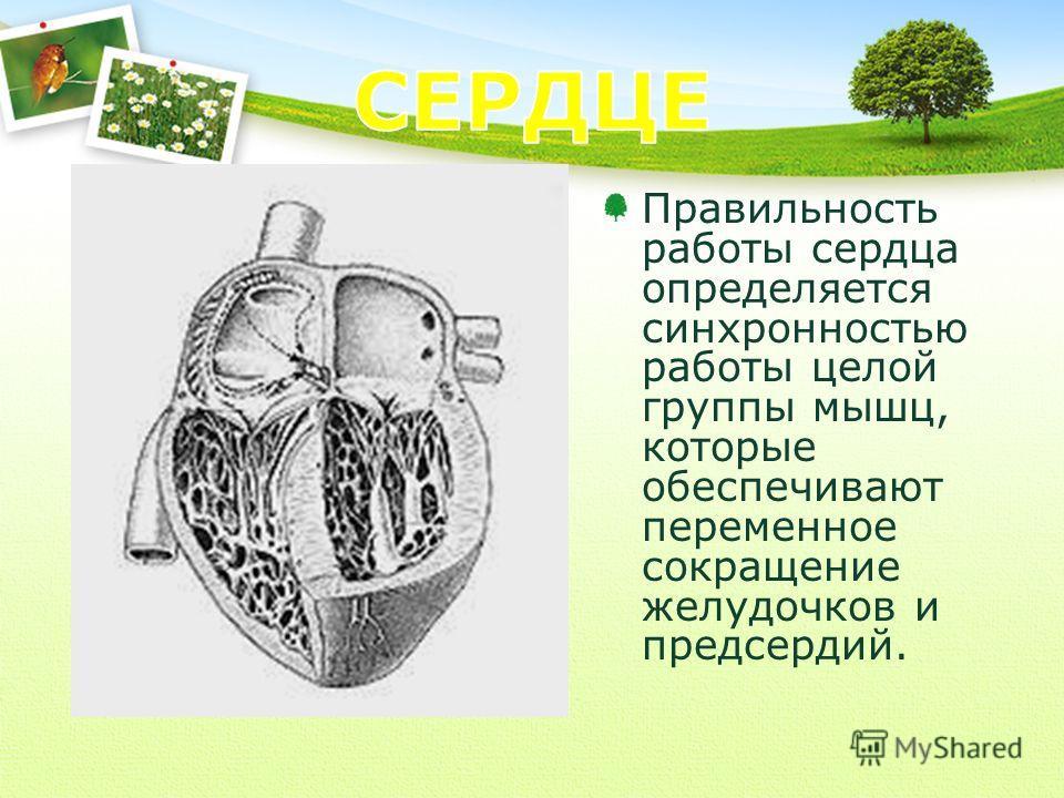 Правильность работы сердца определяется синхронностью работы целой группы мышц, которые обеспечивают переменное сокращение желудочков и предсердий.