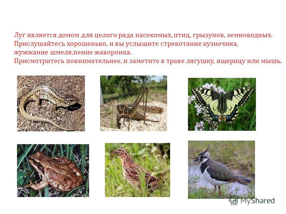 Луг является домом для целого ряда насекомых, птиц, грызунов, земноводных. Прислушайтесь хорошенько, и вы услышите стрекотание кузнечика, жужжание шмеля,пение жаворонка. Присмотритесь повнимательнее, и заметите в траве лягушку, ящерицу или мышь.