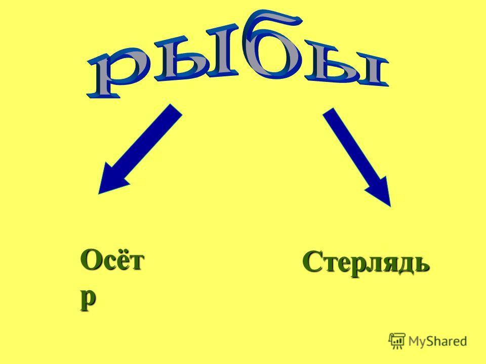 Осёт р Стерлядь