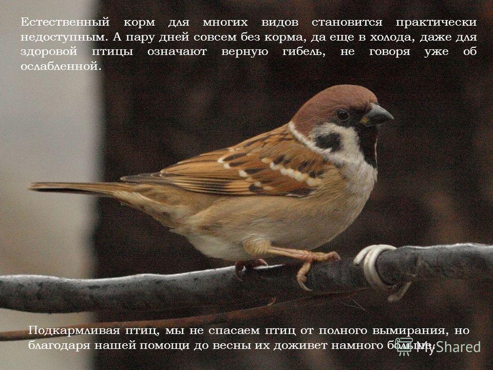 Естественный корм для многих видов становится практически недоступным. А пару дней совсем без корма, да еще в холода, даже для здоровой птицы означают верную гибель, не говоря уже об ослабленной. Подкармливая птиц, мы не спасаем птиц от полного вымир