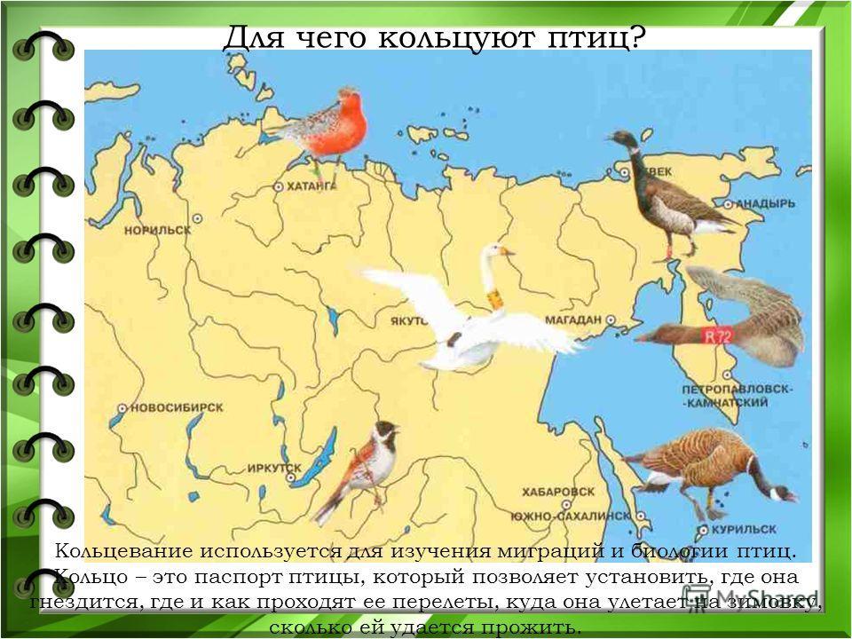 Для чего кольцуют птиц? Кольцевание используется для изучения миграций и биологии птиц. Кольцо – это паспорт птицы, который позволяет установить, где она гнездится, где и как проходят ее перелеты, куда она улетает на зимовку, сколько ей удается прожи