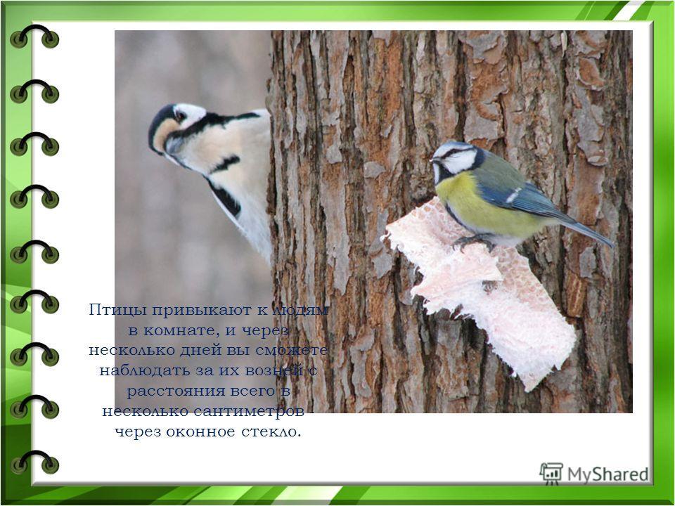 Птицы привыкают к людям в комнате, и через несколько дней вы сможете наблюдать за их возней с расстояния всего в несколько сантиметров - через оконное стекло.
