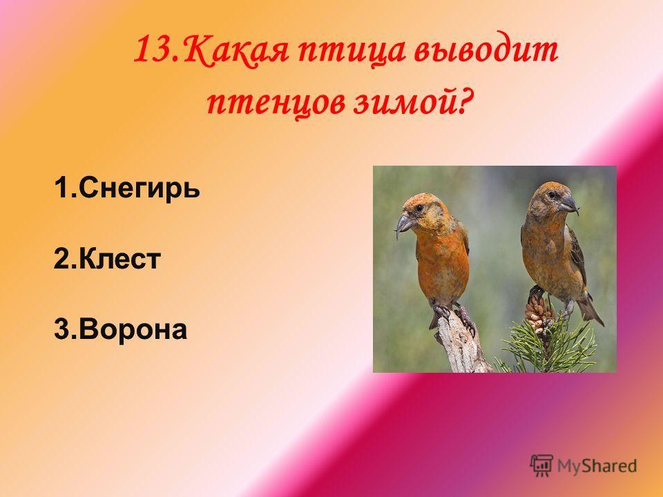 13.Какая птица выводит птенцов зимой?